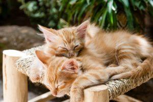 お昼寝兄弟猫